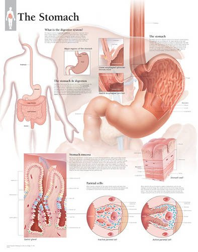 Stomach Paper Poster (Anatomical Wall Charts)