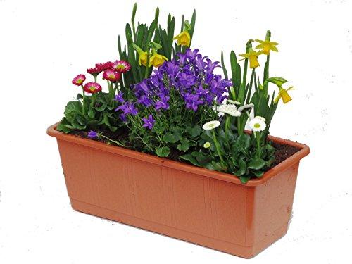 Frühlings Balkonpflanzen-Set für Balkonkästen ab 40 cm Länge 5 winterharte Pflanzen