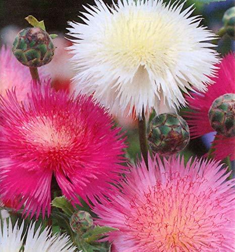 SmartMe Sweet Sultan Flower Semillas Corona Mezcla Perfumada Verano Ropa De Cama Semillas 100g Bulk
