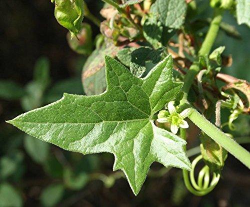 Bryonia cretica subsp. Dioica, 50 Sementes Nueza o nabo del diablo, agrianpelos, aguilonia, alfesera, alfesir, alfesira, amorca, anorza