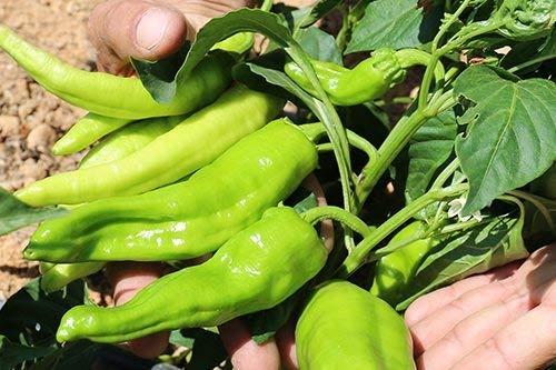 Pinkdose2018 Heißer Verkauf Davitu 'Kuh-Horn' Große Lange Cayennepfeffer Gemüsesamen, 30 Samen, Originalverpackung, heißer Grüner Organischer Pfeffer