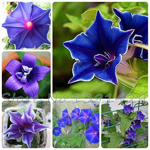 100 Morning Glory Seeds - Japanese Blue Morning Glory (Ipomoea Nil Bleu- Seeds) bleu foncé avec une étoile pourpre et un Graines de bord blanc