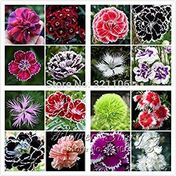 Potseed Graines de Fleurs: Poupée Dianthus-bébé Paquet Jardin [Jardin Graines Eco Pack]