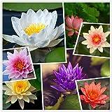 Pianta di fiori di ninfea resistente acquatica dal vivo, colori misti semi di loto bonsai, 30 + semi semi di acqua acquatica pre-radicati