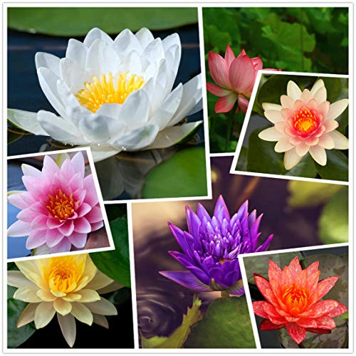 Live Aquatic Hardy Water Lily Flower Plant, Mixed Colors Bonsai Lotus Seeds,30+Seeds Aquatic Water Seeds Pre-Rooted,