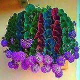 piante dellinterno del seme della pianta verde decorano Seme succulente misto di 100 pezzi TOMASA Seedhouse