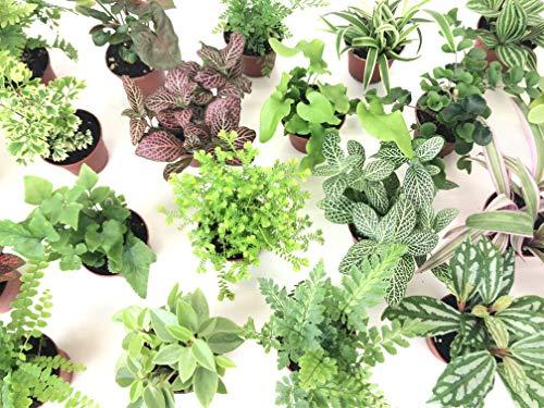 Mini Terrarium Plants (6 Plants) (2 Pots) Fairy Garden Plants Assorted Varieties