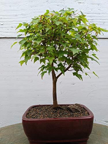Dwarf Trident Maple Outdoor Bonsai Tree