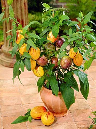 Melonenbirne Pepino