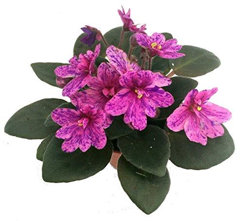 Miniature African Violet - 1 Plant/2'...