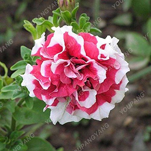 200 pcs/sac double Petunia Graines Balcon Oblique Petunia pot de fleurs Graines Bonsai Pétunia multi-couleurs végétales pour jardin blanc