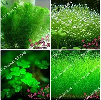 gemischt 100 samen/pack Pflanzen aquarium aquarium dekoration gras samen aquarium pflanzensamen