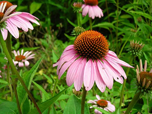 50 Pink Baby CONEFLOWER Echinacea Pallida Flower (Grand) Flat S/H Can Grow in Pot