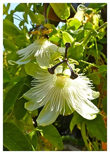 TROPICA - Passionsblume-weiss ( Passiflora caerulea-white ) - 5 Samen