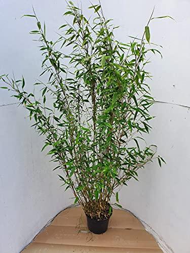 Bambus, Fargesia murielae Jumbo (Höhe: 150-160 cm), winterhart, immergrün + Dünger