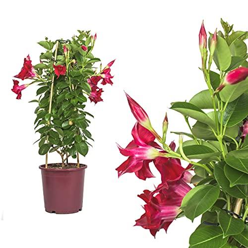 1x Dipladenia Mandevilla/Chilenischer Jasmin - ROT - in tollen unterschiedlichen bunten Farben - circa 50 bis 60cm / bunt blühende Kletterpflanze - Pflegeleicht