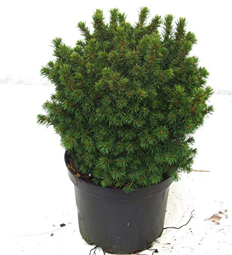Picea glauca 'Alberta Globe' - Kugelfichte, gelieferte Topfgröße 19 cm, Höhe.25 cm