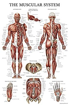 Muscular System Anatomical Poster - Laminated - Muscle Anatomy Chart - Double Sided  18 x 27