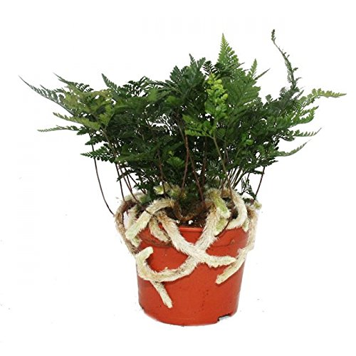 Exotenherz - Tarantel-Farn, Vogelspinnen-Farn,Spinnenfarn, Humata tyermannii, Davallia, Zimmerpflanze, 12cm Topf