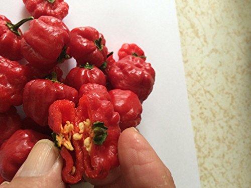 Portal Cool Aji Aji Cachucha Gustoso 20 semillas pimienta dulce Aji Dulce cubana dulces naturales