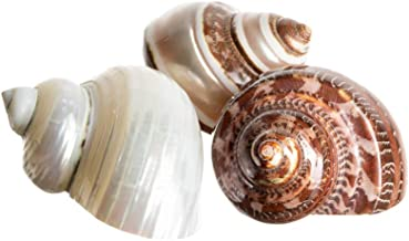 Hermit Crab Home Turbo Shell   3 Pack Turbo Shells   3 Polished Turbo Shells 2
