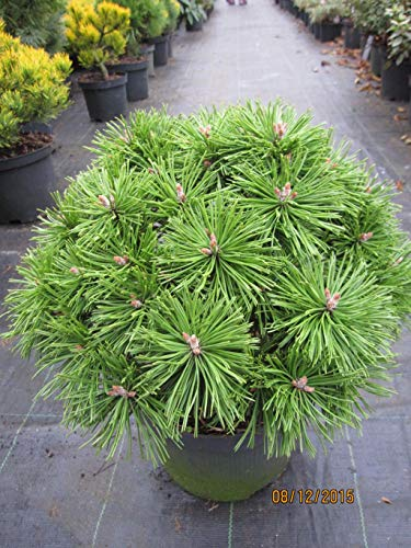 Zwergkiefer Benjamin - Pinus mugo Benjamin
