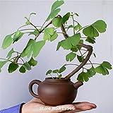 semillas del árbol de ginkgo biloba planta antihipertensivo hierba china Bonsai Garden Ginkgo Biloba yinxing Sementes