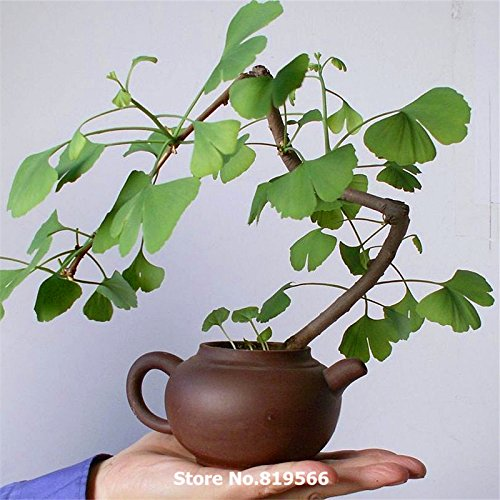 chinois plante antihypertenseur ginkgo biloba arbre graines Herb Bonsai Jardin Ginkgo Biloba YINXING Sementes