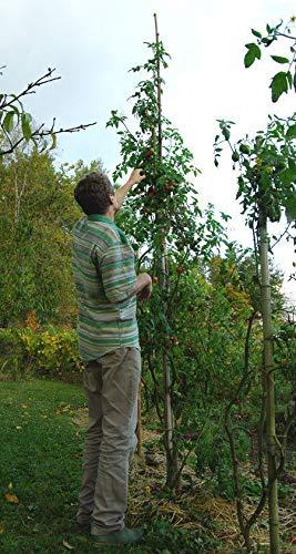 Portal Cool De Barao Baumtomate (15 Seeds) Heirloom- auf 4 M wachsen kann!