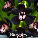 Plantas-límite de tiempo !! 100 PCS / Semillas Bolsa Única Negro Cymbidium Faberi de flores jardín de flores de la orquídea semillas, # OT8Y2I