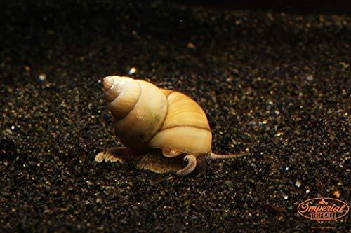 Imperial Tropicals 12 Large (1/2' - 1') Japanese Trapdoor Snails (Viviparus...