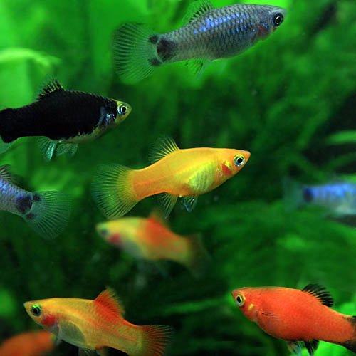 (熱帯魚)ミックスプラティ (約2-3cm)<6匹>[生体]