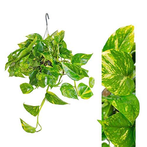 Scindapsus Epipremnum Efeutute - 1 AMPEL, hängend 40-50 cm - hängend als Ampel - Pflegeleichte immergrüne Zimmerpflanzen