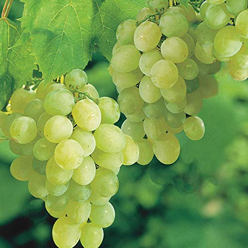 Pixies Gardens Thompson Seedless Grape Vine Plant Sweet Excellent Flavored White Green Grape Large Clusters On Vigorous Growing Vines. (2 Gallon)