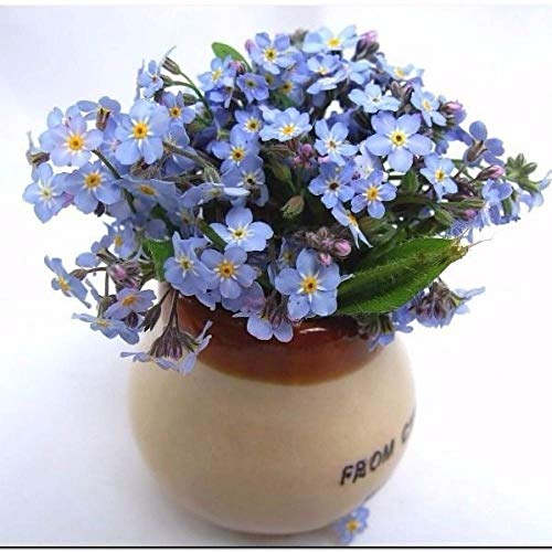 Aerlan winterhart Blumensamen,Vergissmeinnicht Samen Sternblume blau hochwertige Blumensamen-1000 Kapseln,Steingarten & Staudenbeet