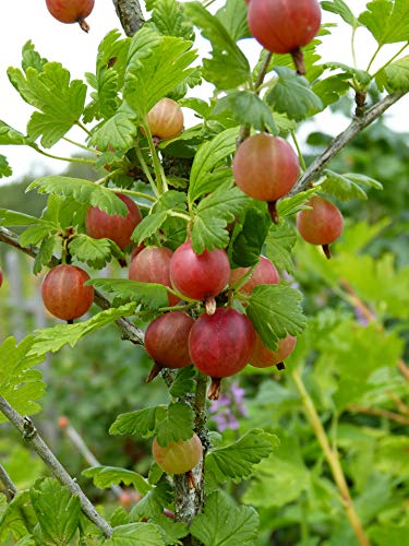 Oregon Champion Gooseberry Plant - 2 Year Old