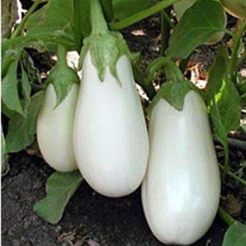aubergine héritage blanc rare pur « Aysberg » 40+ semences biologiques frais