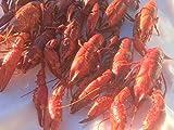 食用アメリカザリガニ LL(規格1kg-30~35匹 実送1.1kg-33~38匹程度)