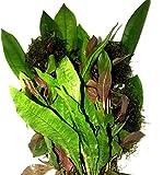 Greenpro Freshwater Live Aquarium Plants Package Value Pack 4 Species Amazon Sword Java Moss Java Fern Ludwigia