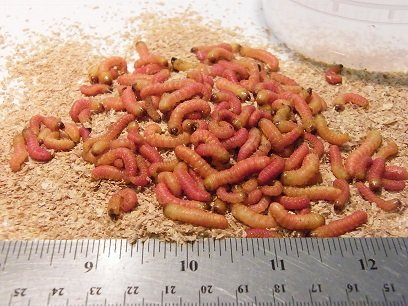 Elliot's Butterworms Live Butter Worms for Reptile Food and Fishing Bait (100 Count)