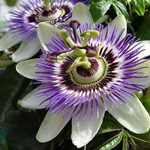 Passionsblume (Passiflora caerulea) - Mehrjärige Kletterpflanze, Winterhart & Immergrün - 1,5 Liter Topf | ClematisOnline Kletterpflanzen