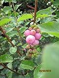Symphoricarpos doorenbosii Mother of Pearl - Schneebeere Mother of Pearl