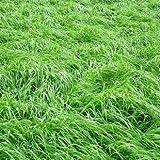 VISTARIC Lila: Rasensamen 200pcs Rasensamen Frisches Grün Weich Runner Natural Plant