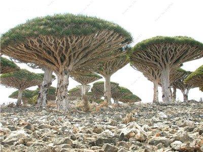 Dracaena arbre Graines, Arbre de sang (Dracaena draco), Graines rares Showy géant Fleur de cerisier Bonsai Jardin en pot Plantes 10 Pcs 12
