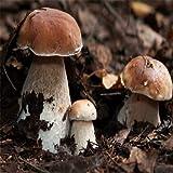Portal Cool Boletus edulis setas Semillas de setas esporas Bonsai Garden Granja