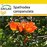 SAFLAX - Set de cultivo - Tulipán africano - 30 semillas - Con...