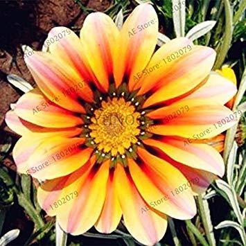 VISTARIC 2: 100 Pcs Clematis Graines de plantes Belle Paillage Graines de fleurs Bonsai ou un pot de fleurs vivaces pour jardin Mix 2 Couleurs