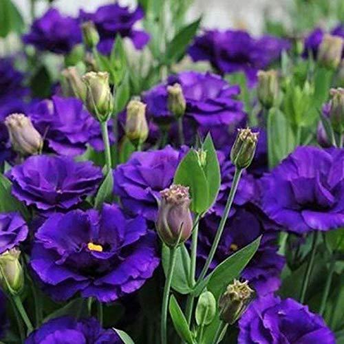AIMADO Samen-50 Pcs Eustoma Blumensamen Mischung Farbenfrohe Blütenpracht für Garten und Wohnung Sommer Blumen Japanrose Saatgut