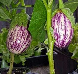Eggplant Seeds 50 Seeds Shooting Stars Striped Egg Plant AIND-551