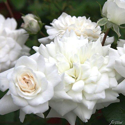 Rose The Fairy White- Bodendeckerrose weißen Blüten - Kleinstrauchrose Pflanze Winterhart Halbschattig von Garten Schlüter - Pflanzen in Top Qualität
